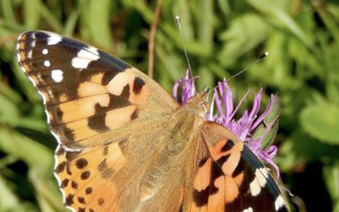 Painted ladies are orange with black and white wingtips - photo by Kars Veling