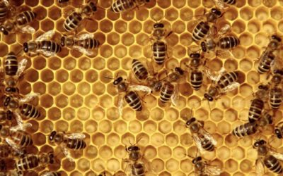 Bee the future: how wearable technology is helping to save honey bees