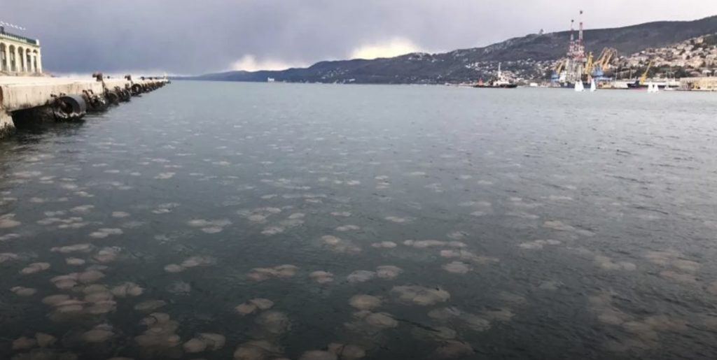 """CS for monitoring jellyfish """"invasion"""" in Trieste (Italy)"""